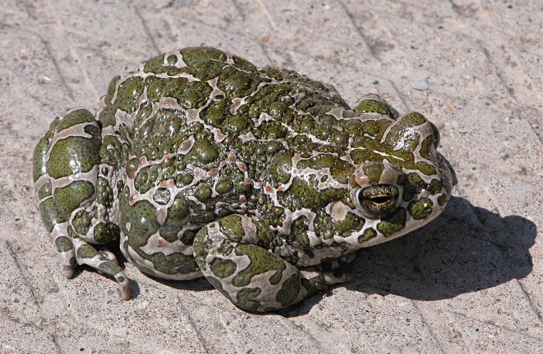Забавные фотографии лягушек (редкие снимки холоднокровных животных) казалось бы, что тема